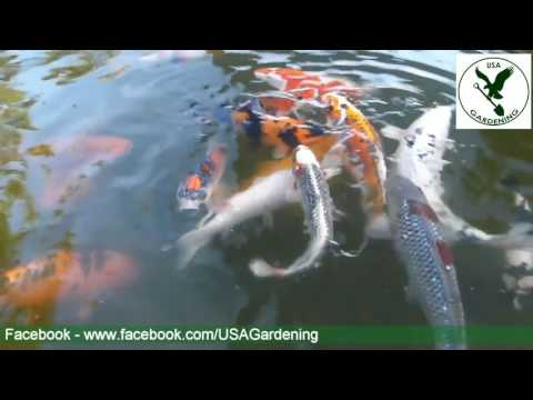 Koi Fish Pond - Water Garden Ideas