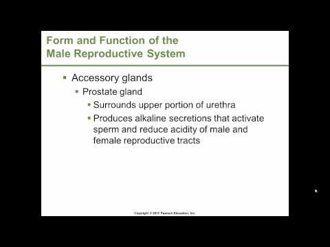 Dr. Gossett - BSC 1309 /1409, Chapter 17 pt.1 of 3   Reproductive Systems