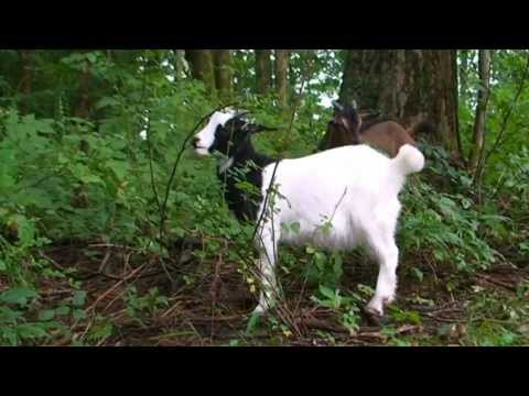Organic Weed Control 100% natural, Convert Weeds to Fertilizer with goats