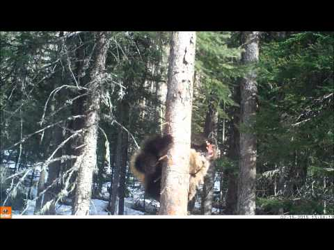 Wolverine at a bait station in Swan Valley, MT