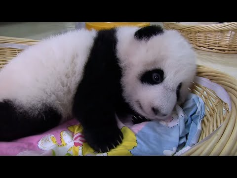Teaching A Baby Panda To Poo | Panda Babies | BBC Earth