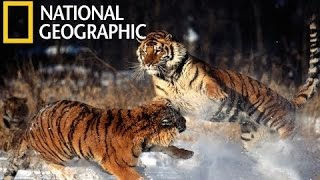 Download National Geographic Documentary Tigers Revenge - Nat Geo wild Video