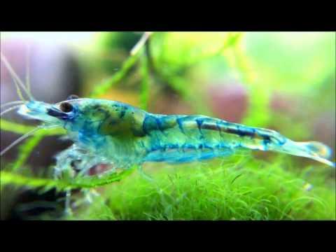 Close-Up!! Bloody Mary Shrimp Mutation (Blue Velvet?)