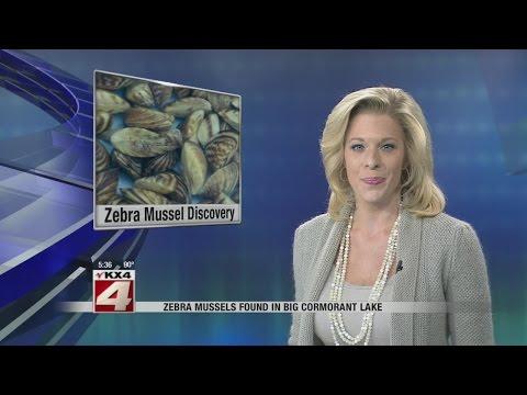 Zebra mussels found in Big Cormorant Lake in Becker County
