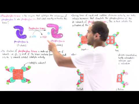 Activation of Phosphorylase Kinase