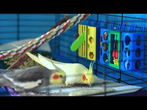 How to Make Your Cockatiel Happy : Bird Care & Training