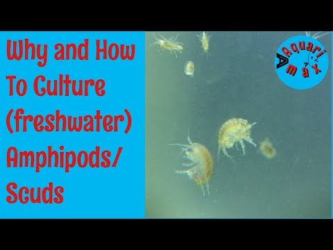 How to culture Freshwater Amphipods