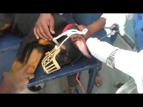 Dobarman Female Dog : Ear Cropping, Dressing and Tapping
