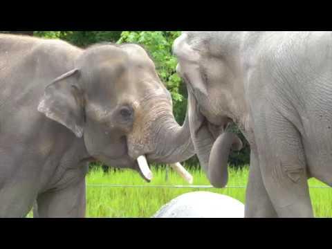 Asian elephant Samson meets Rose-Tu and Lily _ Oregon Zoo