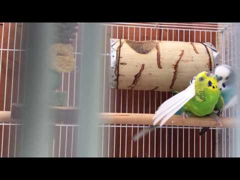 Parakeets Start of 2017 Breeding Season