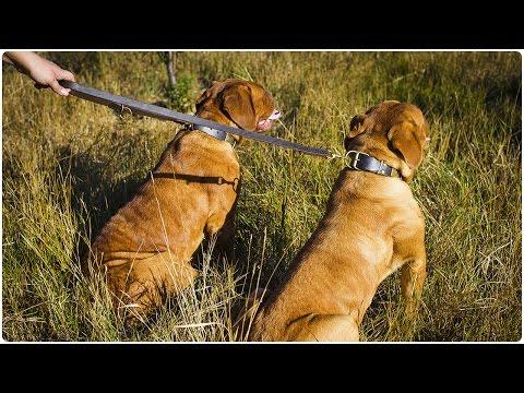 Two French Mastiffs walking on Multi Mode Leather Dog Leash - Laid-Back Walking Lead