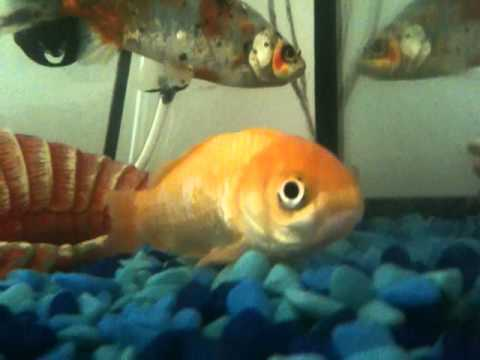 help....sick goldfish