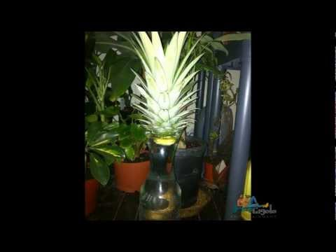 How to Grow a Pineapple Indoors