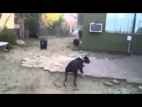 Xl bully Bruno catching