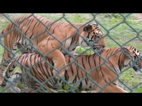 Tiger mating in bannerghatta zoo !! loving tiger couple in bannerghatta national park zoo