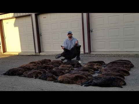 Spring Beaver Trapping 2018. Simple Sets Produce Beaver