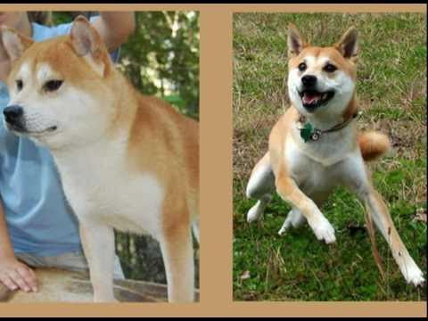 The Shiba Inu: About the Breed