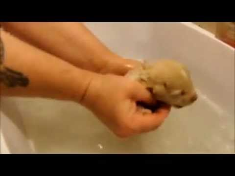 One Week Old Puppy Growls in the Bath