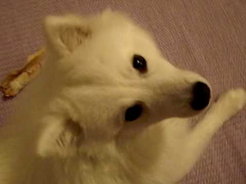 A Japanese Spitz with idiopathic head tremor