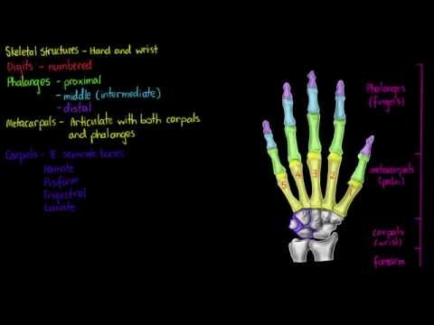 Skeletal Structures- Hand and Wrist