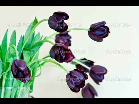 black tulip -  black tulip flower