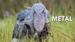 Shoebills are Metal
