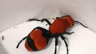 Download STUNG BY A COW KILLER VELVET ANT (FOUR STINGS) Video