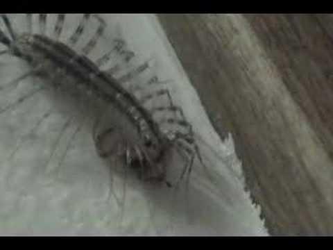 House centipede eats spider