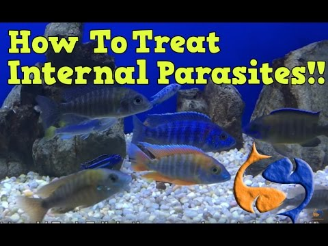 How To Treat For Internal Parasites In Your Fish Part 1! Medicate The Food! KGTropicals!