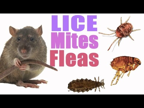 Pet Rat Care- Mites/Lice/Fleas