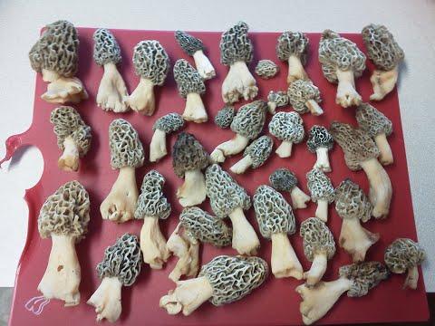 What Are Morel Mushrooms?  - Morel Truths: Episode 1