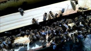 Безматочная семья/queenless Beehive