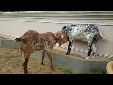 Makhi cheena Goats / Beetal Makhi cheeni / Best Goat Breeds of Punjab / Makhi cheni ke khoobian