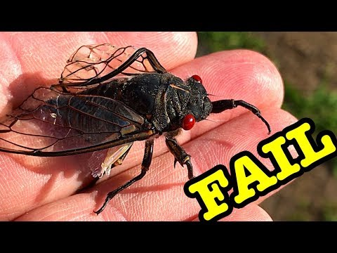 Cicada Freak Of Nature 6 Months Out Of Season 2.0 & Demonetisation Crisis Update