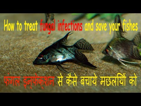 How to remove fungus from fish in hindi(Cotton wool disease in hindi)
