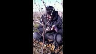 Impostazione piante giovani, potatura a Guyot metodo Simonit&Sirch