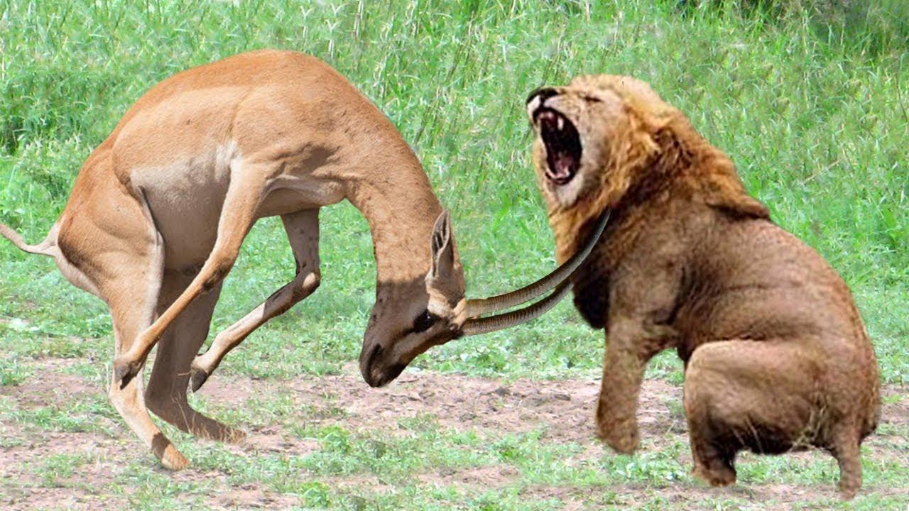 Antelope Powerful of Horrible Horns Causing The Lions To Panic – Python, Crocodile, Snake, Buffalo