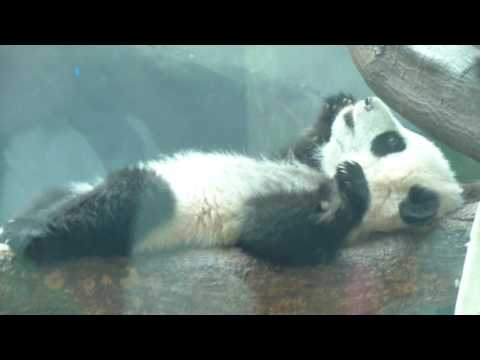 Baby Pandas Atlanta Zoo