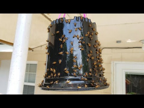 Making a Yellow Fly trap with STP oil treatment