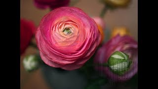 Crepe paper flowers how to make paper ranunculus flower from crepe related videos mightylinksfo