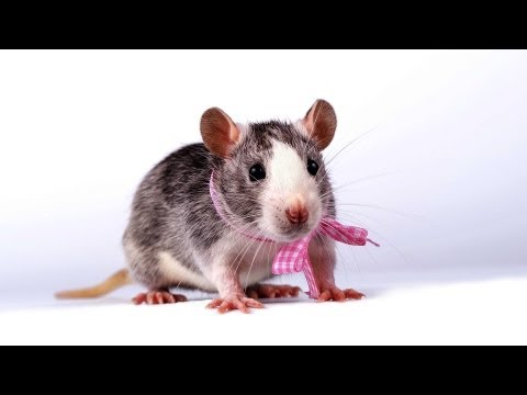 Male vs. Female Rats | Pet Rats