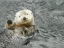 Nyac: famous holding-hand otter dies