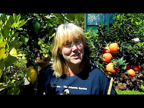 Potting Orange, Lemon & Citrus Plants