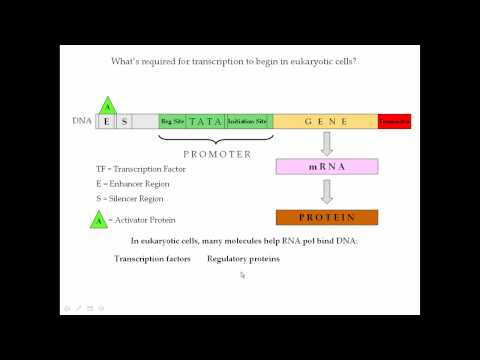 Protein Synthesis Pt 3 (Transcription)