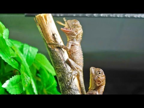 Feeding Baby Boyd's Forest Dragons