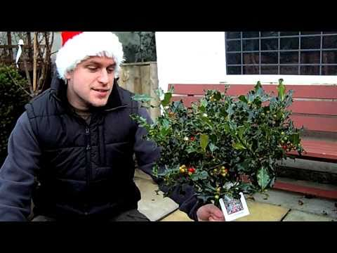 How to Re-pot a Christmas Holly Tree