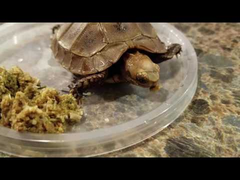 Baby tortoise cant open mouth to feed