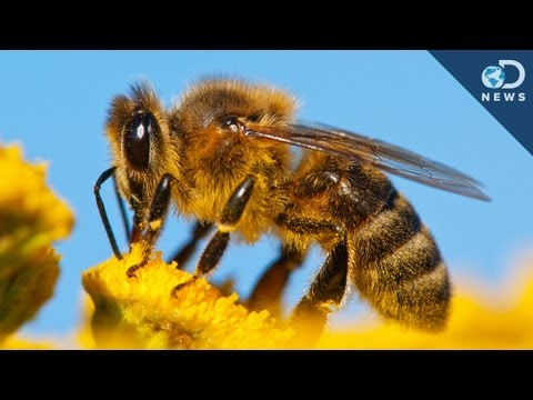 Why All The Bees Are Dying