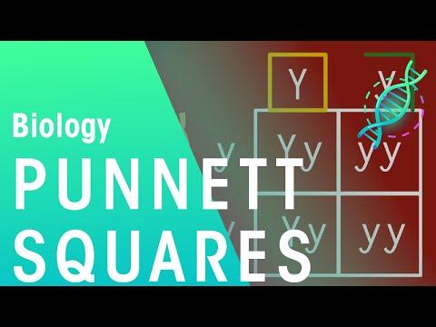 Punnett Squares   Biology for All   FuseSchool