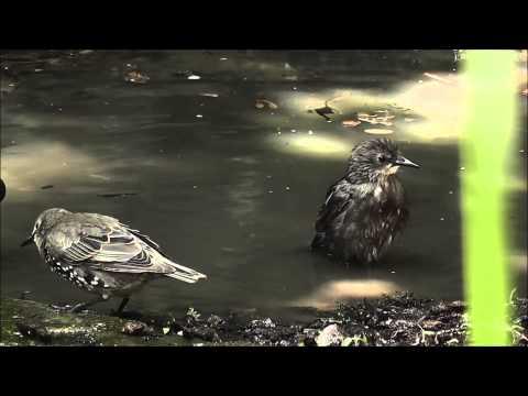 Garden birds bathing in the hot weather 23/7/2014